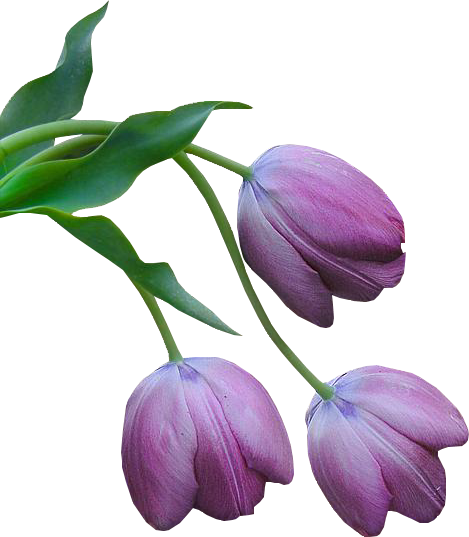 Tulipes Violettes