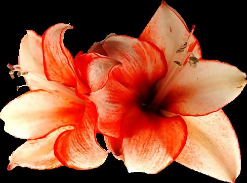 Fleurs Orangé