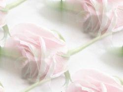 Fond blanc avec rose (rose pale)