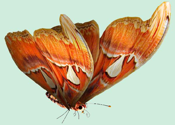 magnifique papillon orangé